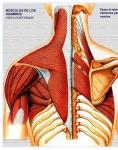 Captura de http://www.iqb.es/cbasicas/anatomia/musculos/images/torax02/torax02.htm